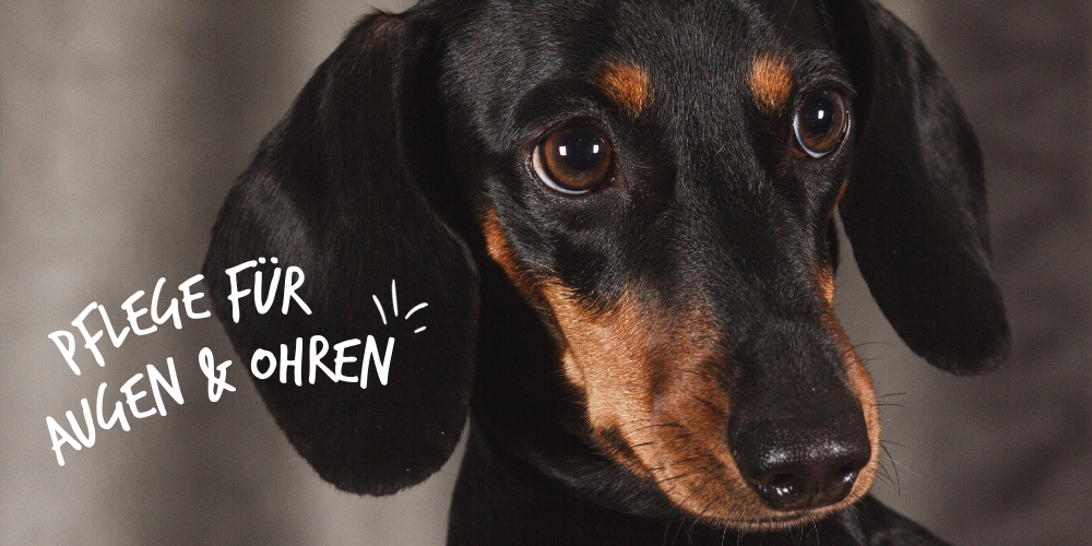 Hundepflege_Ohren_Augen